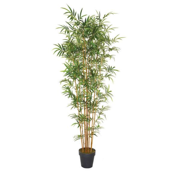 Δέντρο Μπαμπού Σε Γλάστρα Υ230