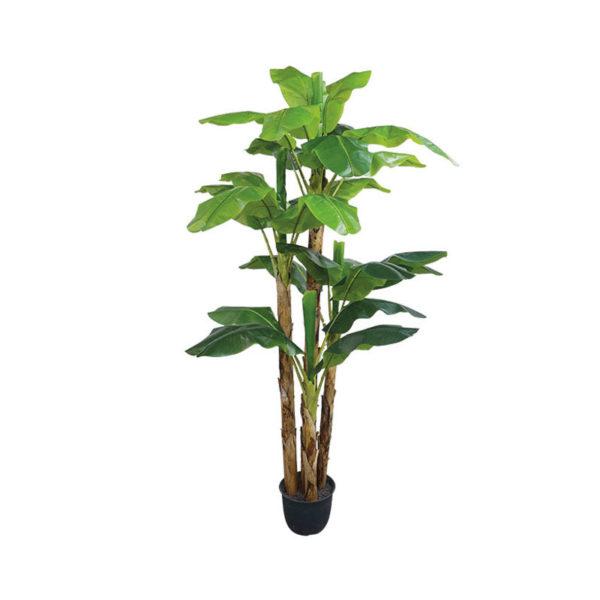 Δέντρο Μπανανιά Με Τριπλό Κορμό Σε Γλάστρα Υ290