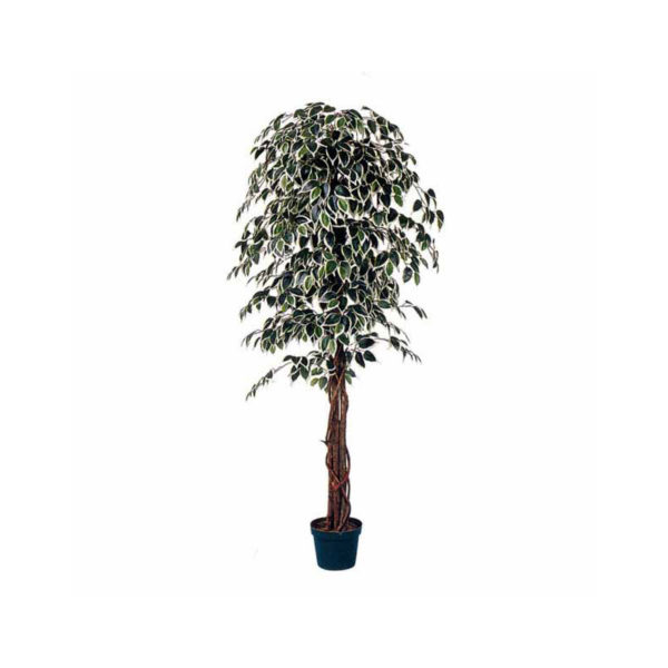 Δέντρο Μπέντζαμιν Πράσινο Δίχρωμο Σε Γλάστρα Υ180