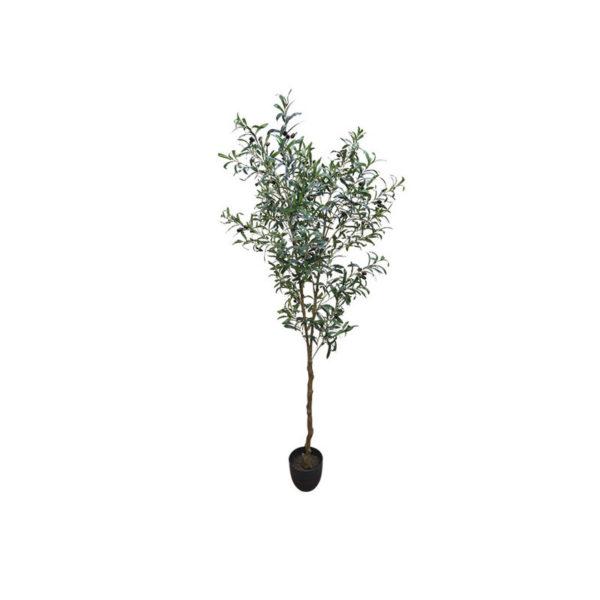 Δέντρο Ελιά Σε Γλάστρα Υ180
