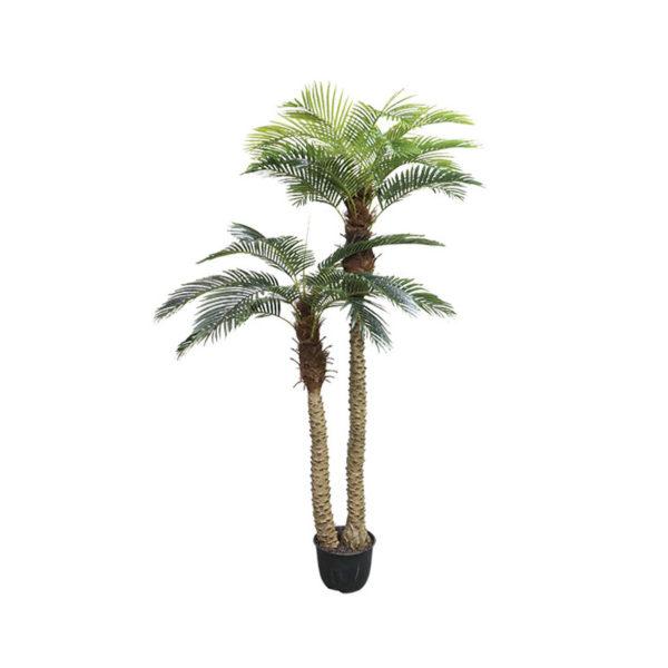 Δέντρο Φοίνικας Αρέκα Με Διπλό Κορμό Σε Γλάστρα Υ250