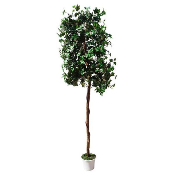 Δέντρο Κισσός Σε Γλάστρα Υ210