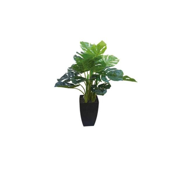 Δέντρο Σχιστόφυλλο Σε Γλάστρα Υ65