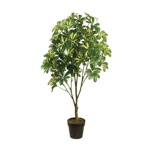Δέντρο Σεφλέρα Σε Γλάστρα Υ105