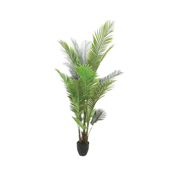 Δέντρο Xrizalidokarpus Σε Γλαστρα Υ170