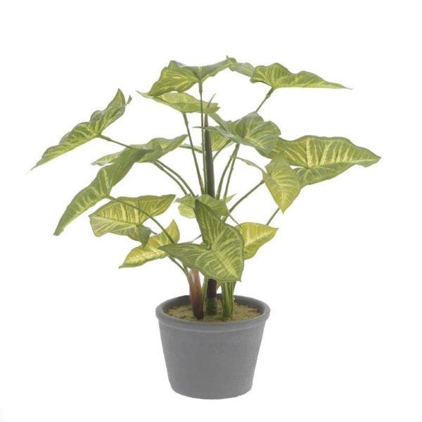 Διακοσμητικό Φυτό Caladium Σε Γλάστρα Υ35