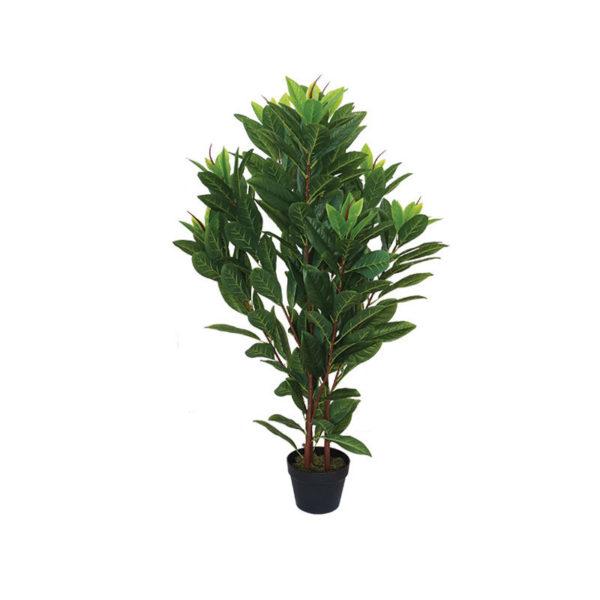 Φυτό Μανόλια Σε Γλάστρα Υ110