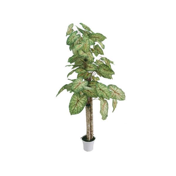 Φυτό Σιγκόνιουμ Σε Γλάστρα Υ170