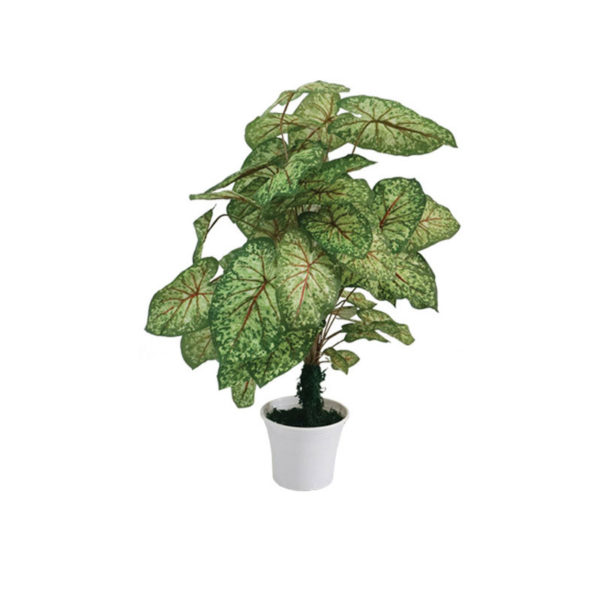 Φυτό Σιγκόνιουμ Σε Γλάστρα Υ90