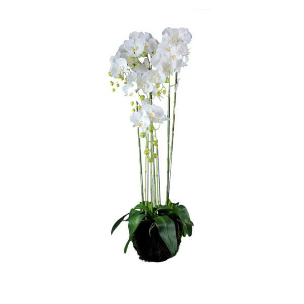 Ορχιδέα Λευκή Σε Γλάστρα Υ120